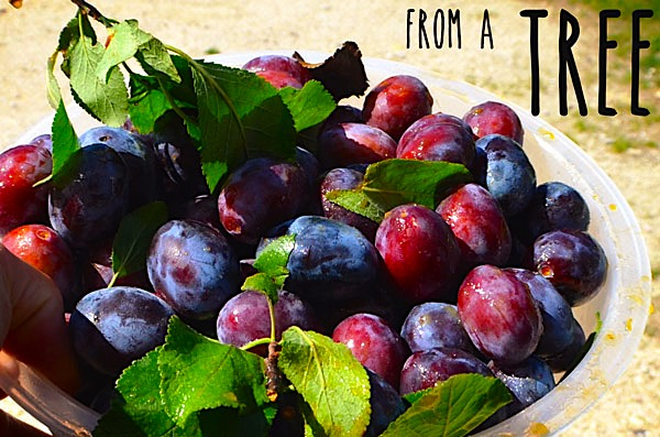 plums-from-a-tree-in-budapest