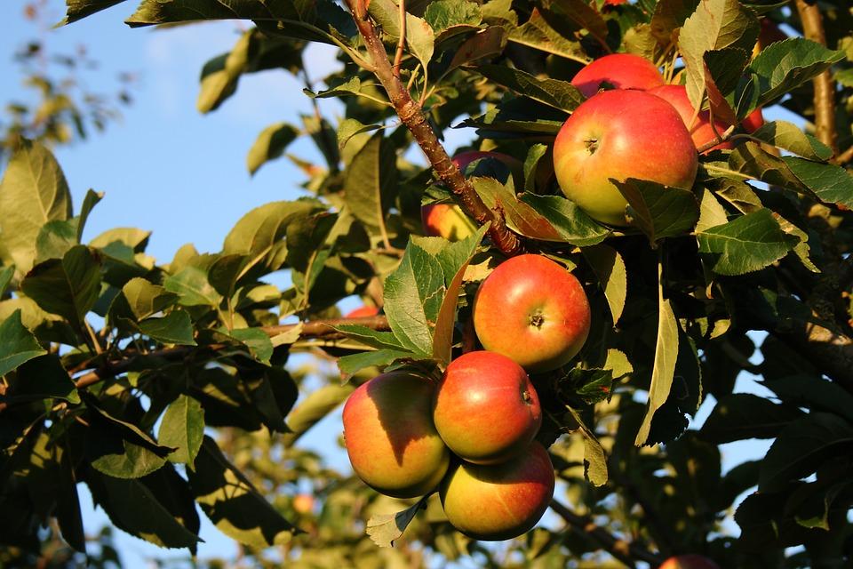 gagner de l'argent cueillette des pommes van
