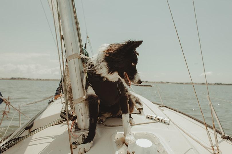 voilier chien